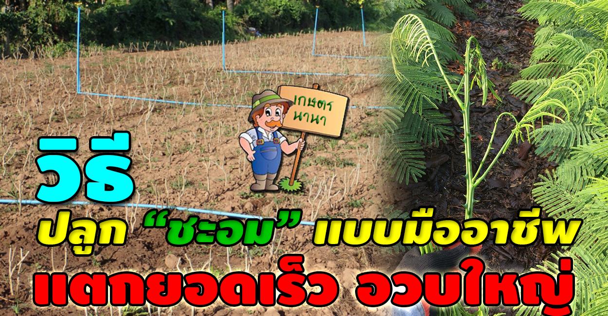 เกษตร นานา Kaset NaNa วิธีปลูกชะอมแบบมืออาชีพ แตกยอดเร็ว อวบใหญ่