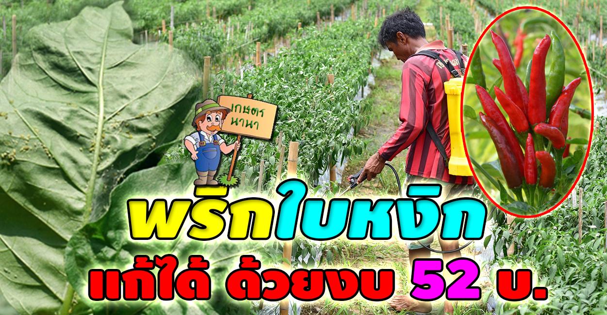 เกษตร นานา Kaset NaNa เคล็ดไม่ลับจากเจ้าของสวน แก้พริกใบหงิกได้ง่ายๆ ด้วยงบ 52 บาท