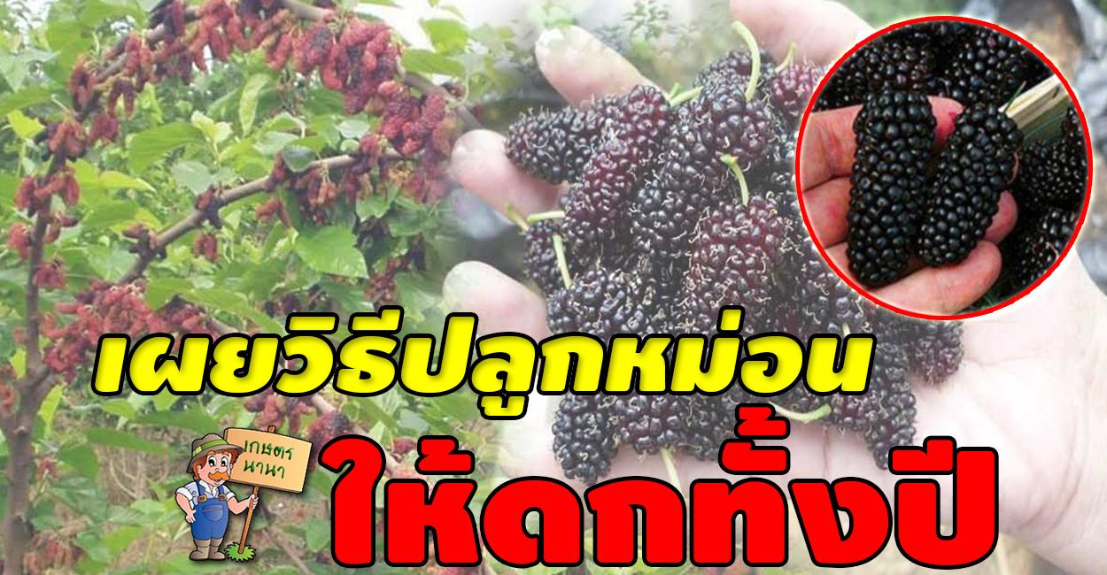 เกษตร นานา Kaset NaNa เผยวิธีปลูกมัลเบอรี่ หรือหม่อน ให้สามารถออกผลได้ตลอดทั้งปี