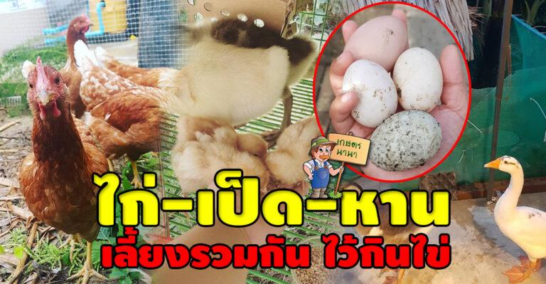 ทำเกษตรแบบผสมผสานเลี้ยงไก่-เป็ด-ห่าน-ไว้กินไข่ ในสวนหลังบ้าน