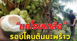 เจ้าของสวนแนะ โรยเกลือรอบโคนต้นมะพร้าวให้มะพร้าวหอมหวาน