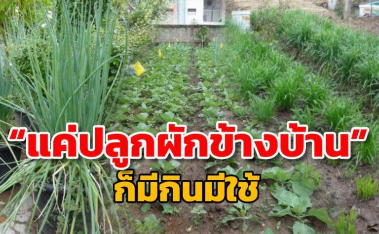 ปลูกผักข้างบ้าน เก็บกินก็ได้ เก็บขายได้ทุกวัน