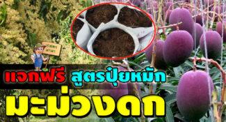สูตรปุ๋ยหมัก มะม่วงดก ทั้งในและนอกฤดู ใช้กับผลไม้ชนิดอื่นได้