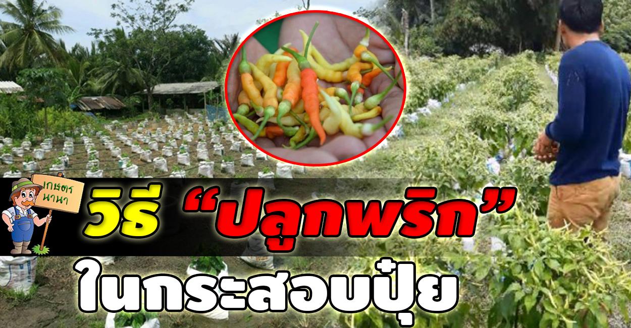 Kaset NaNa เกษตร นานา วิธีปลูกพริก ในกระสอบถุงปุ๋ย