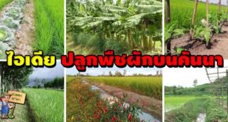 ไอเดีย ปลูกพืชผักบนคันนา ใช้พื้นที่ว่างให้เกิดประโยชน์