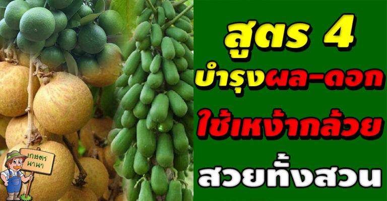 วิธีการทำน้ำหมัก น้ำสกัด ชีวภาพ สูตร 4 เหง้ากล้วย (บำรุงผลและดอก)