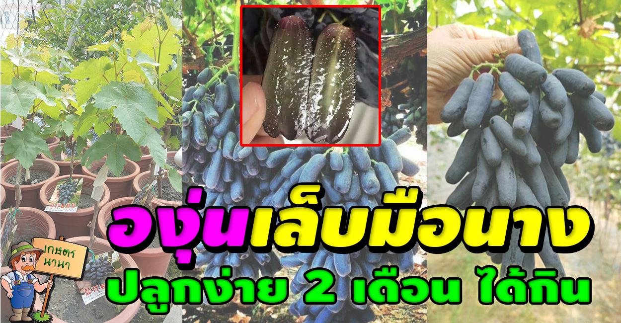 วิธีการปลูกองุ่นเล็บมือนาง kaset nana เกษตร นานา