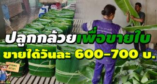 ปลูกกล้วยเพื่อขายใบ สร้างรายได้วันละ 600-700 บาท