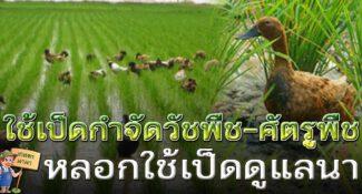ภูมิปัญญาชาวบ้าน ใช้เป็ดกำจัดวัชพืช-ศัตรูพืช ดูแลข้าว ทำนาแบบลดต้นทุน