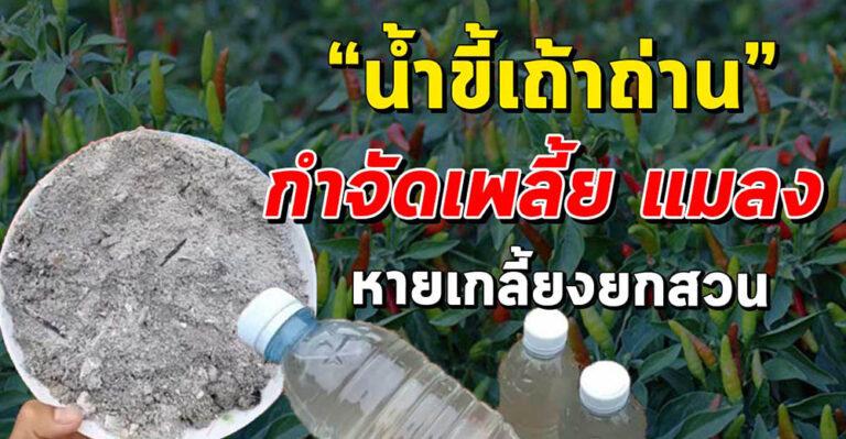 สูตรน้ำขี้เถ้าถ่าน กำจัดศัตรูพืช ทำเองง่ายๆ ปลอดภัยไร้สารเคมี
